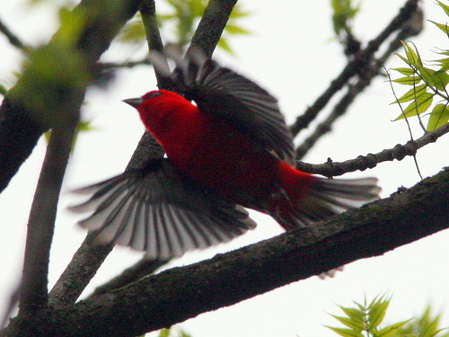Scarlet Tanager Flying 20090508