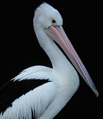 Portrait of a Pelican at Berowa Waters, North of Sydney, Australia (Alex E. Proimos) Tags: portrait white black sydney australia pelican waters berowa proimos alexproimos