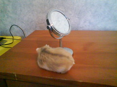 Going round a mirror (ikieran97) Tags: toby hamsters