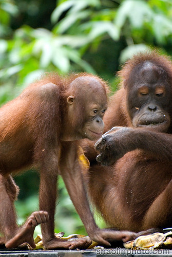 Old and Young Orang Utan
