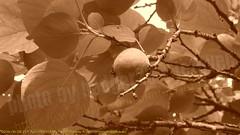 2009-05-28 211 Apricots in May (Badger 23 / jezevec) Tags: flower fleur flor apricot  blume fiore 2009 prunus bloem cais   albaricoque aprikose albicocca    abricot abrikoos kvt aprikos vbr    aprikoosi   prunusarmeniaca    alperce  parmeniaca badger23  20090528 abrikosas aprikozes