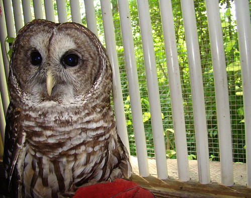 Barred owl with bars