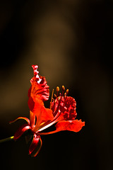 Awesome Red (vikram I Click) Tags: red flower 70300mm gulmohar rebelxsi