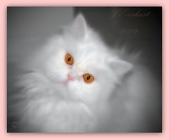 Cute Lil' Kitty Cat ( julev69  200,000+ views ~THANK YOU!!!) Tags: cute soft arts kitty visual soe brighteyes pinknose silky pedigree petportrait persiancat animalphotography whitefur coppereyes longhairedcat whitepersian fluffykitty abovealltherest jeverhart julev69