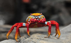 color the crab (brodmann's 17) Tags: bigmomma specanimal fotocompetition fotocompetitionbronze fotocompetitionsilver