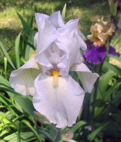 2009 White Seedling