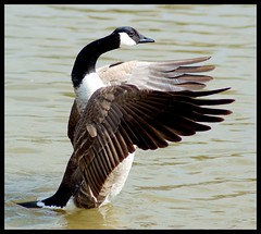Shaking the wings (Levels Nature) Tags: lake bird nature wings wing goose canadagoose wildfowl topshot carlsbirdclub