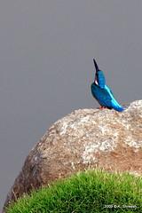 Kingfisher... (K. Shreesh) Tags: india birds kingfisher pune 50d eos50d ef400f56l okayamagarden beautifulworldchallenges vosplusbellesphotos