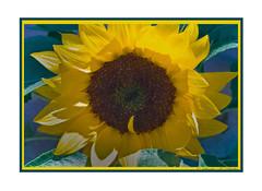 Sunflower (LB2556) Tags: flower nature yellow petals sunflower diamondclassphotographer flickrdiamond