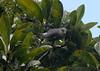 Mauritius Gray White-Eye (pinebird) Tags: zosterops fbwnewbird fbwadded zosteropsborbonicus zosteropsmauritianus mascarenewhiteeye