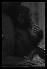 Just born.... (J. van de Pas) Tags: old bw woman white black holland netherlands girl animal animals zoo one 1 day nederland safari ape pan chimpanzee bergen common troglodytes brabant aap safaripark noord robust beekse hilvarenbeek chimpansee