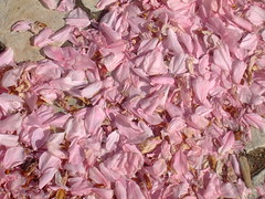 Espalha-se sob o chão todo o rosa de Mafra (Irene Sarranheira) Tags: cidade baby flores girl amor carinho rosa convento beleza mafra delicadeza passoapasso