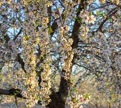 Blanco y verde (Juan A. Bafalliu) Tags: santacruz flores verde blanco marzo ptalos flordealmendro blancoyverde