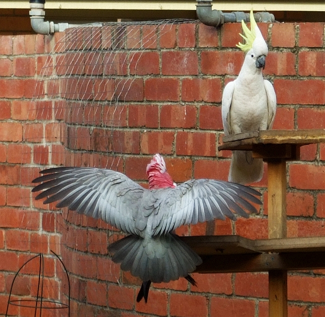 galah and cockatoo