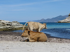 Corsica - vaches en plage (Been Around) Tags: france frankreich europe corse corsica kyr francia plage loto vaches corsican korsika stflorent worldtrekker france2008