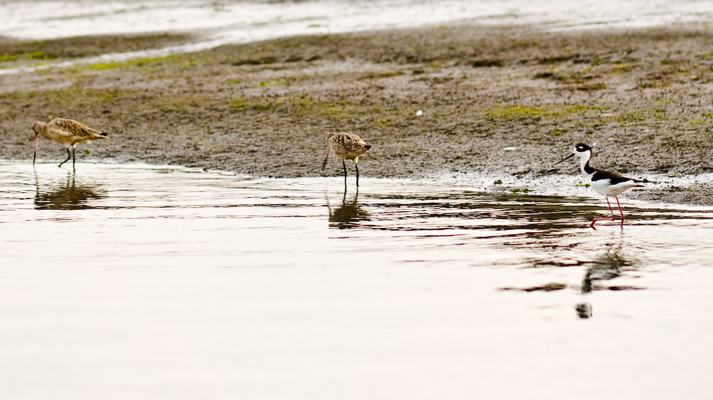 marbled godwits, black-necked stilt