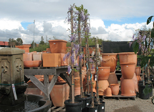 wisteria and clay pottery containers