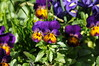Petite Purple (Through Grace) Tags: pfosilver