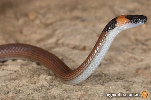 Orange-naped snake (Furina ornata)