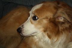 IMG_0057 (Karen.E.Rice) Tags: dog shepherd mindy brownandwhitedog englishshepherd
