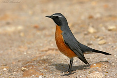 White-throated Robin   (mohammad khorshid (boali)) Tags: robin   whitethroated
