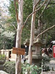 シャラノキ(深大寺)