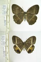 Magneuptychia moderata