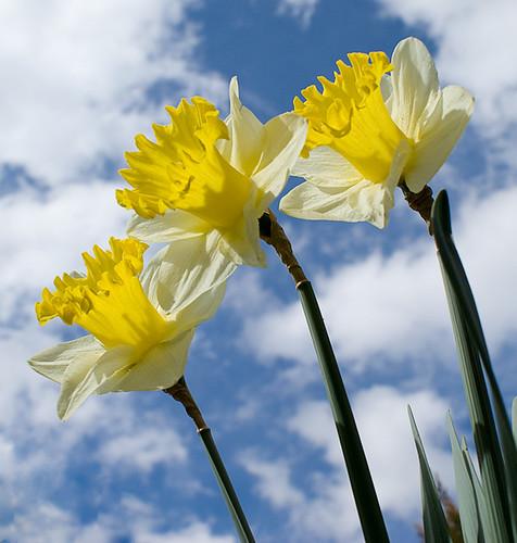 Daffodil Festival Chincoteague Island