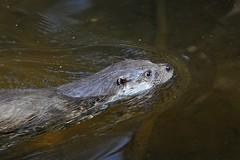 Fischotter (cbeier_old) Tags: bayern deutschland wasser schwimmen bach otter tier bayerischerwald marder fischotter lutralutra raubtier wildtier wassermarder fischmarder wasserotter