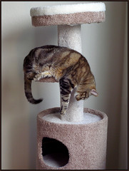 photo - Hanging Cat, Sound Asleep (Jassy-50) Tags: california max cat photo hanging alameda drooping maximilian cattree odt