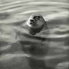 content bobbing (moggierocket) Tags: bw copyright rescue water smile animal floating content seal d200 sunbathing bobbing ecomare 500x500 wateranimal winner500