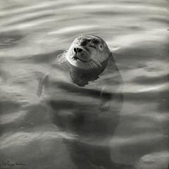 content bobbing (moggierocket) Tags: bw copyright rescue water smile animal floating content seal d200 sunbathing bobbing ecomare 500x500 wateranimal winner500