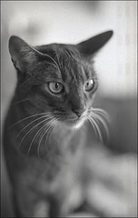 (julian / berman) Tags: white black film cat self 35mm 50mm julian nikon kitten bokeh 400 scanned f3 f18 abyssinian developed berman arista