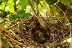 Hoatzin chicks (Opisthocomus hoazin) (fabian-papa) Tags: color nest venezuela southamerica flight hoatzinopisthocomushoazin ecology bird chicks zoology wildlife location nature breeding animals stockcategories cojedes