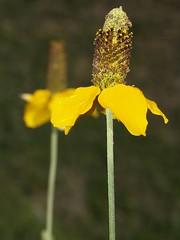 Sombrerito de Coahuila / Coahuila's Hat (Ratibida coahuilensis), flor