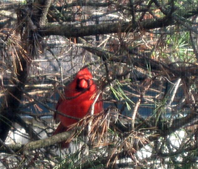 CardinalPine3