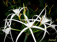 Hymenocallis caribaea (Caribbean Spiderlily) with 3 buds just unfurled in rapid succesion