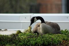 IMG_5534 (Skokie Public Library) Tags: goose gosling greenroof skokiepubliclibrary