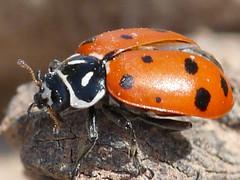 Lady Bug (Super Macro) (meltdown994) Tags: nature lady bug insect insects thatsclassy fz28 panasonicfz28