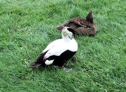 Common Eider Ducks, London Wetland Centre, Barnes.