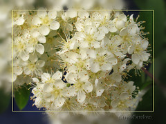 Rowan /  Mountain Ash  / Sorbus Aucuparia (Guy@Fawkes) Tags: white petals spring blossom rowan mountainash sorbusaucuparia topshots infinestyle naturethroughthelens redmatrix
