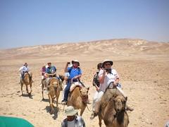 Caravan of led camels.