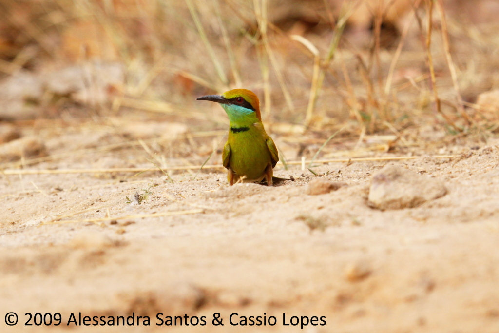 Green Bee Eater _MG_0736_F