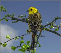 Yellowhammer (emberiza citrinella) (hawkgenes) Tags: nature birds wildlife emberizacitrinella smallbirds potofgold naturesfinest specanimal colorphotoaward yellowhammers vosplusbellesphotos thewonderfulworldofbirds