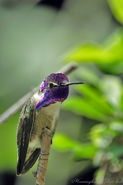 Costa's Hummingbird 05092-1