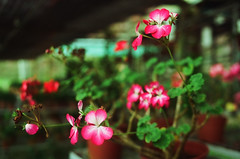 They give beauty to the world and they wither (499570018) (Fadzly @ Shutterhack) Tags: flower colour film analog catchycolors dof bokeh scan malaysia analogue colourful cameronhighlands pahang kodak200 leicar6 flowernursery negativefilmscan summicronr3520