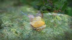 Snails (Bobo design) Tags: camera flower macro nature rain rock canon garden wonder leaf amazing dof ant snail depthoffield hdv slime 500d georgeous canon500d