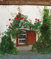 Tiny bookstore (Hellebardius) Tags: old red roses house beautiful wall comfortable cozy nice haus bookstore friendly rosen rosas cosy mauer gemütlich buchhandlung homelike unhurried romantisch hübsch snugly romantically cozily heimelig apacible unhurriedly