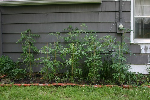 all my tomatoes outgrew their cages