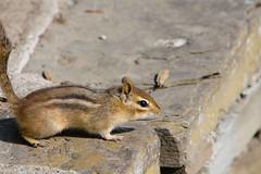 Chipmunk (kenyaya) Tags: park toronto ontario canada nature canon rebel high squirrel natural mini chipmunk tiny xs 1000d